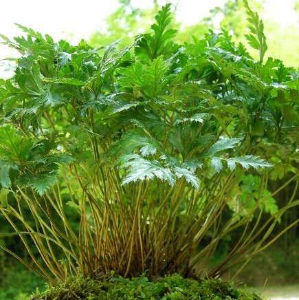 Coptis chinensis Franch ( 黄连 Huang lian ). Planta principal en la fórmula 黃連解毒湯 utilizada para enfriar el calor del corazón y secar la humedad interna.